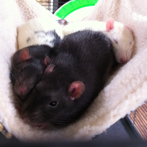 Poppet, Lil' Buster, and Bambi. Rattie boys.